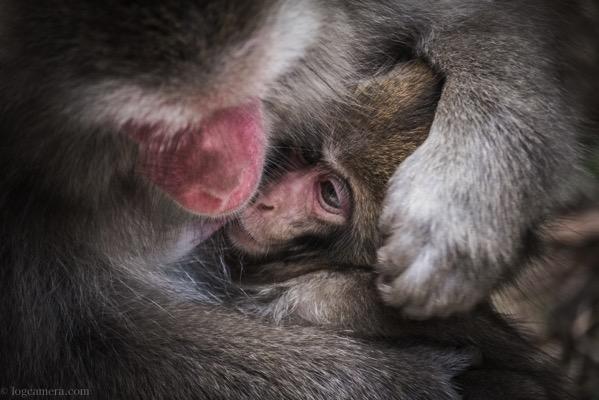 子猿と母ザル