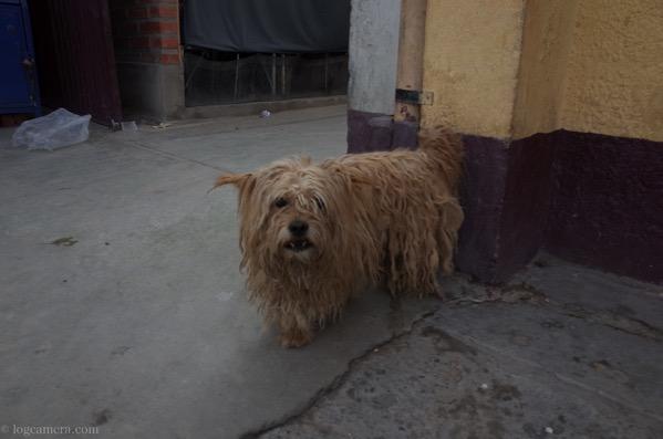ウユニ 犬