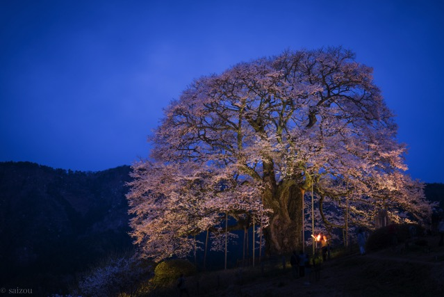醍醐桜 ライトアップ