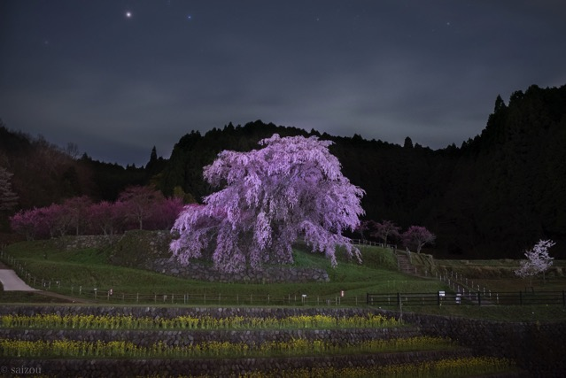 又兵衛桜 夜 星