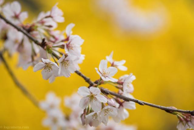 桜 マクロ