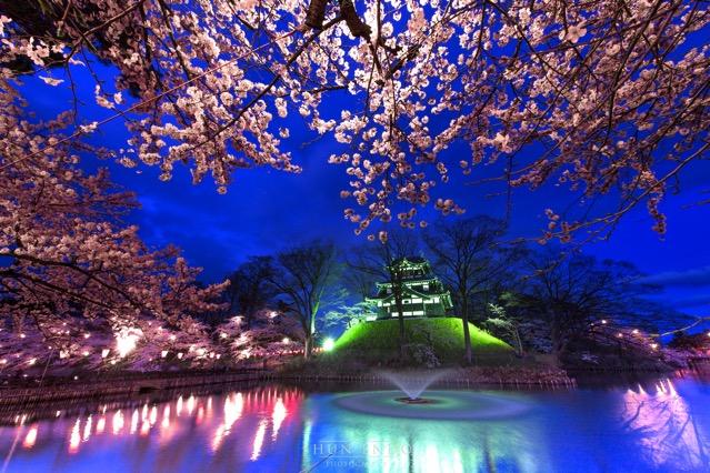 高田公園 夜景 桜