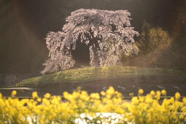 与一野のしだれ桜 夕方