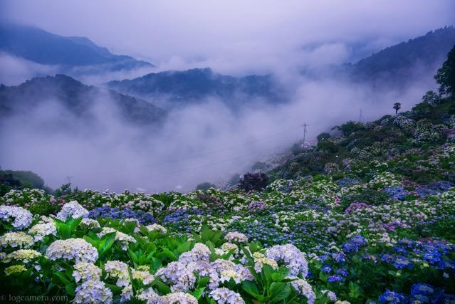 愛媛の紫陽花