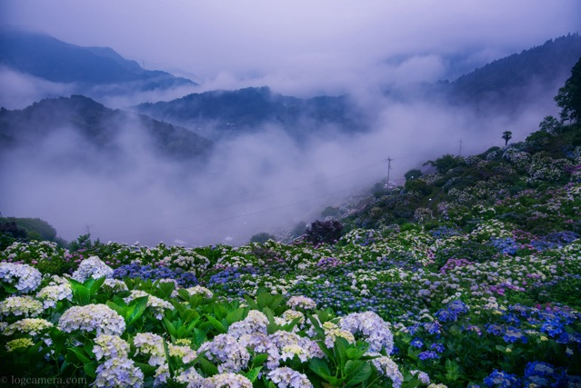 紫陽花 雲海