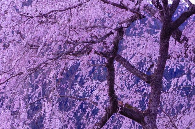 幹がピンク色の桜