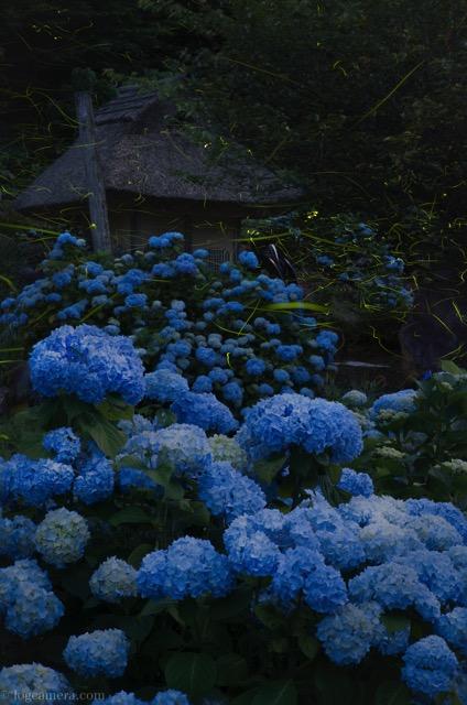 紫陽花 ホタル 光跡