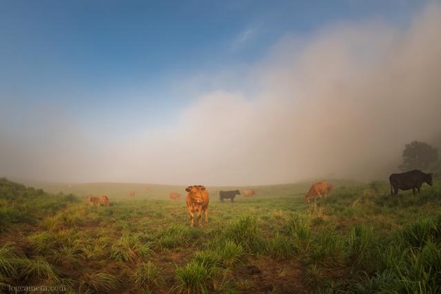 阿蘇 赤牛