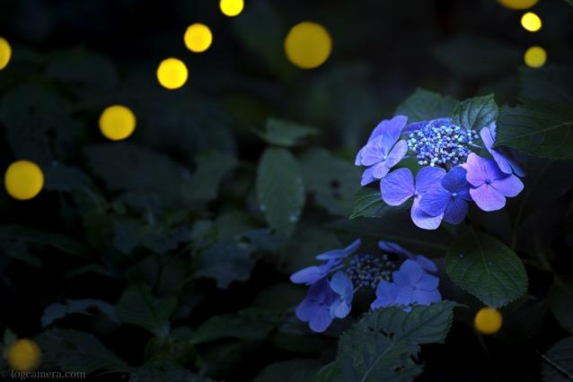 紫陽花とヒメボタル