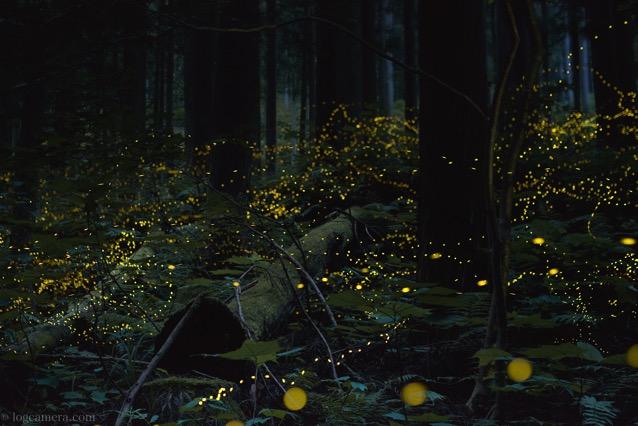 ヒメボタル 森
