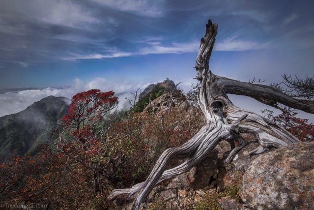 石鎚山 倒木