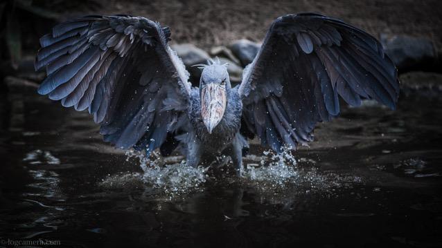 ハシビロコウ 翼を広げた姿