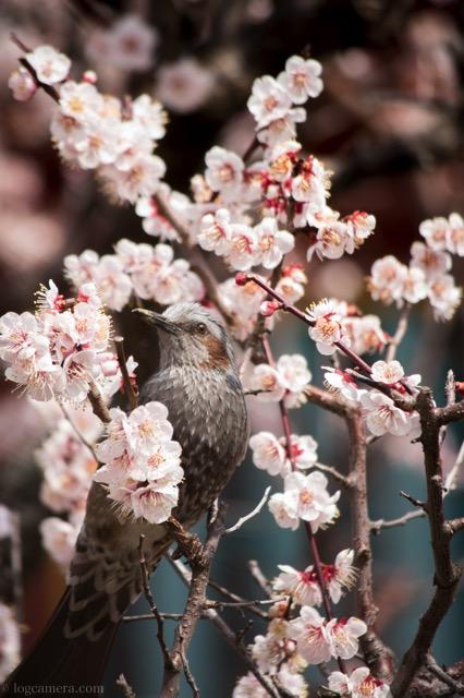 梅 青 鳥