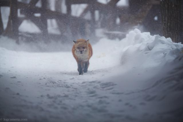 キツネ 吹雪