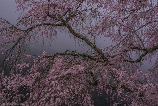湯の山の枝垂れ桜