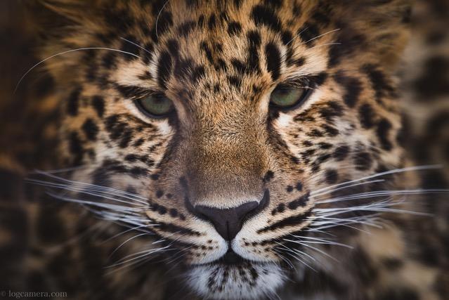 旭山動物 豹