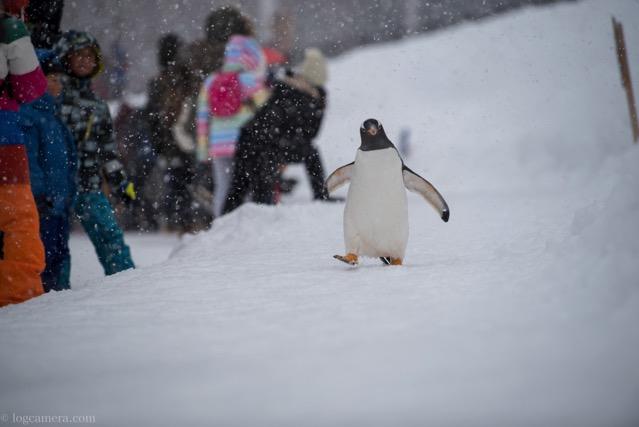 旭山動物 ペンギン