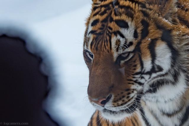 旭山動物 虎