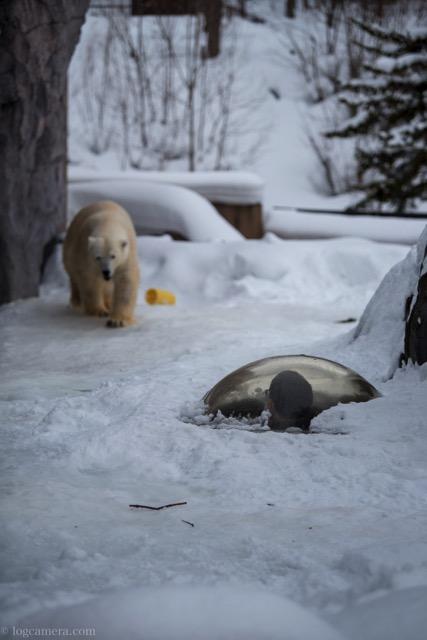旭山動物 クマ