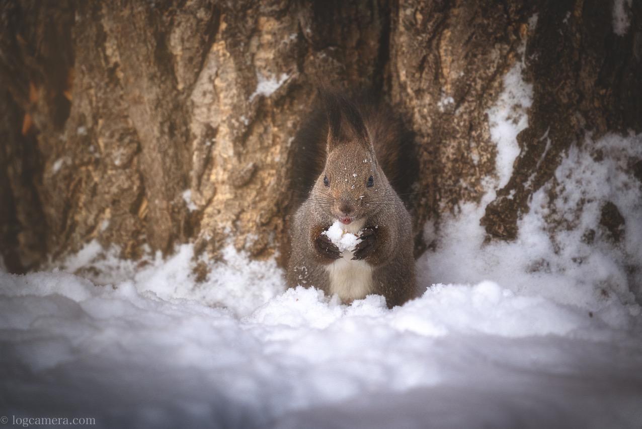 エゾリス 雪を食べる