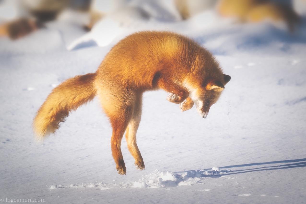 餌をもとめてジャンプするキツネ