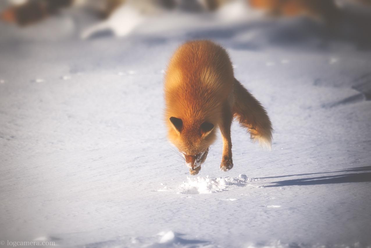 キツネ 餌をもとめてジャンプ