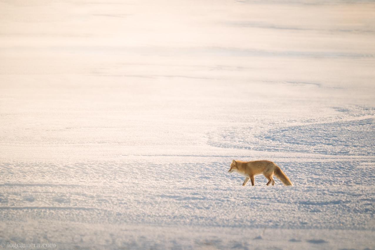 雪原を歩くキツネ