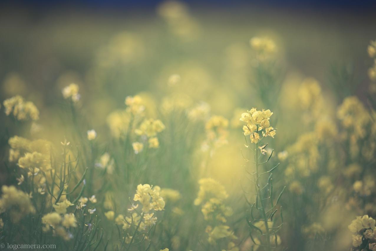 菜の花をApo-Sonnar T* 2/135 ZF.2で撮影