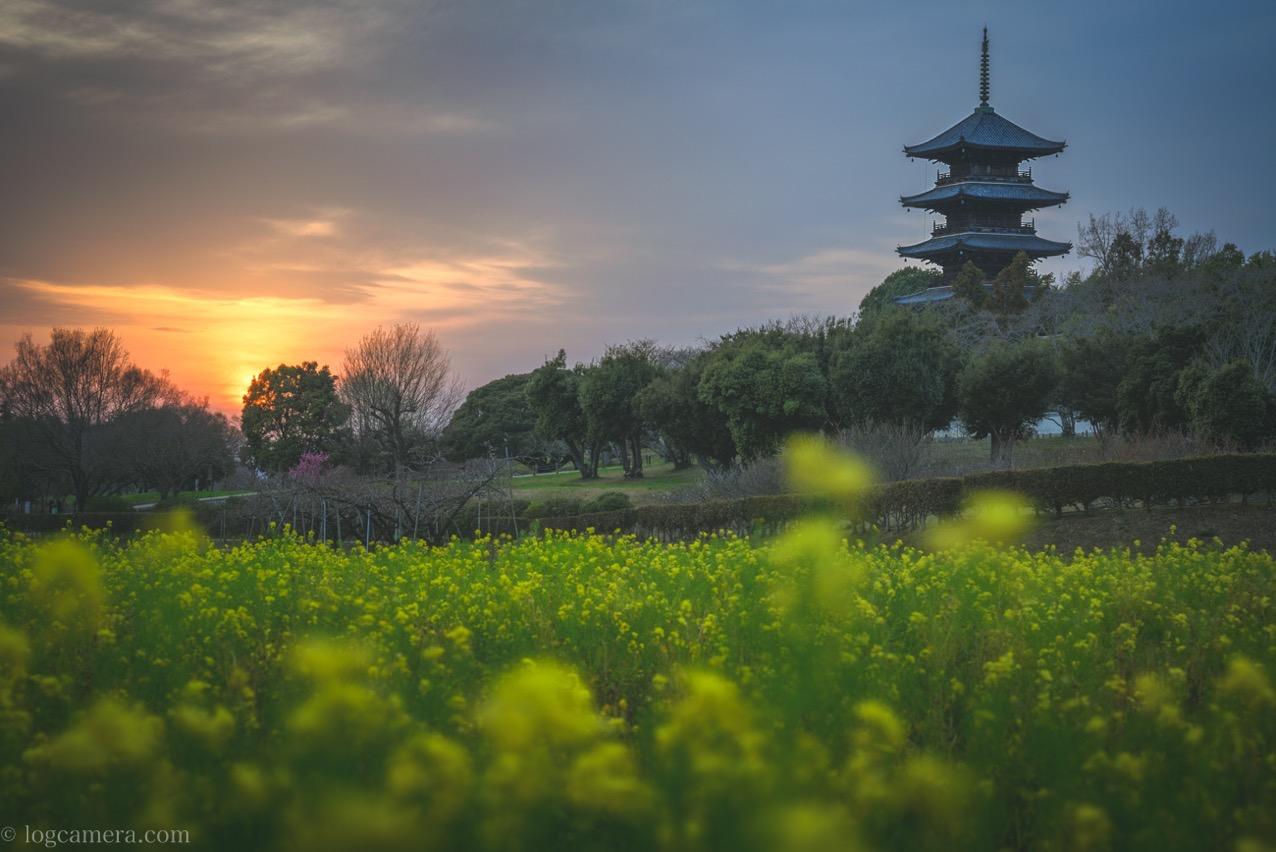 備中国分寺 菜の花