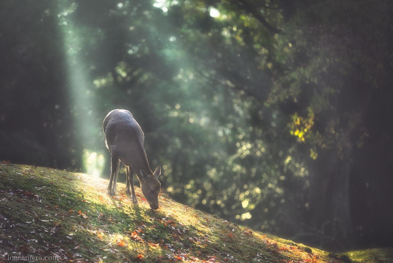 飛火野 鹿 光芒