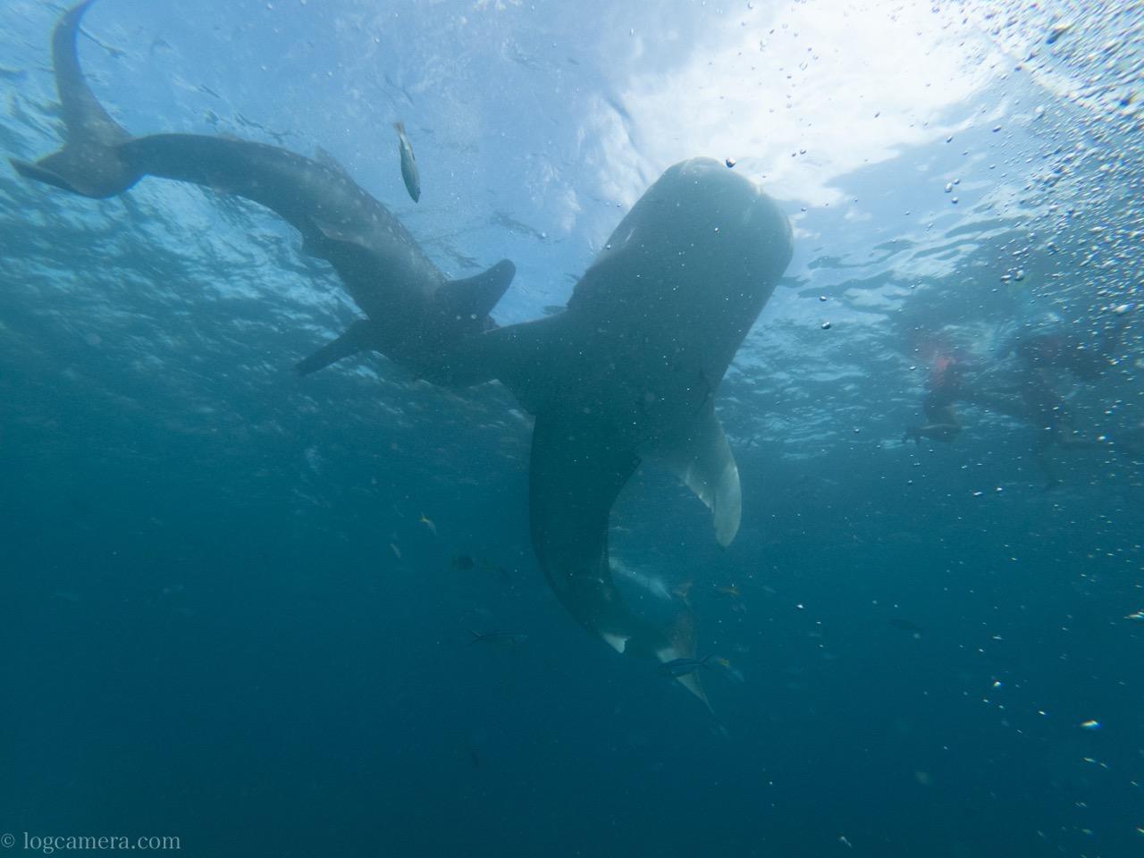 ジンベイザメ 2匹