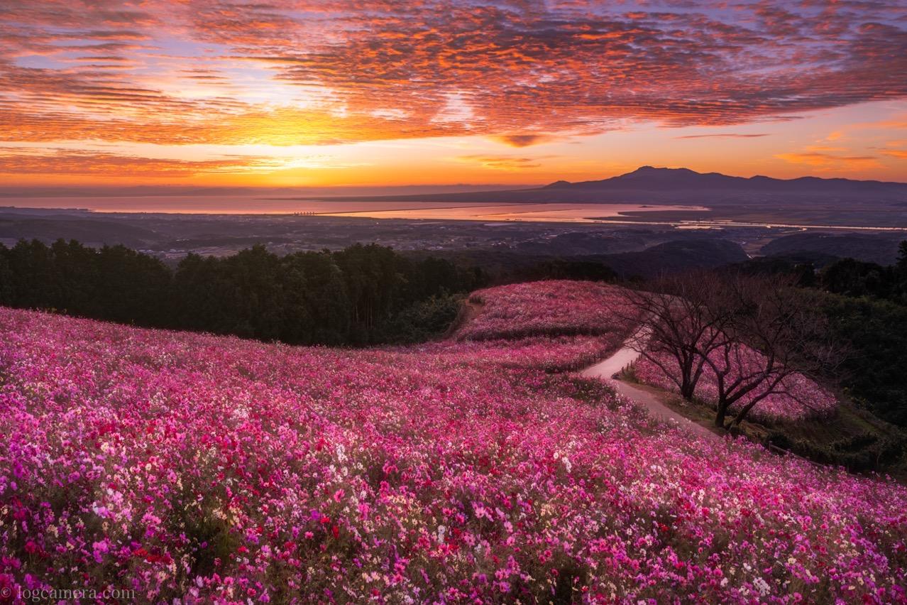白木峰高原のコスモス