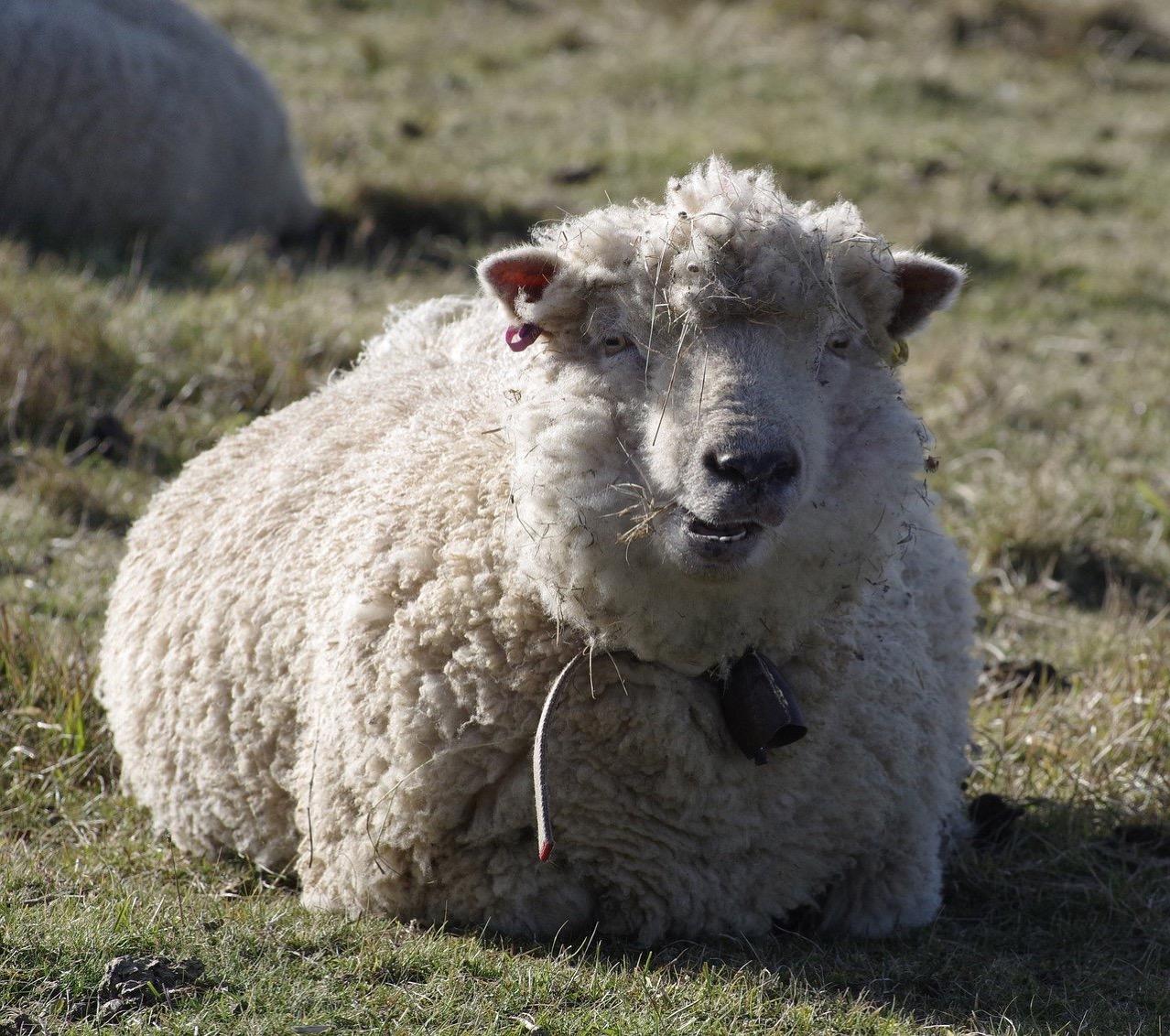 Sheep 3189411 1280